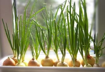 Польза зеленого лука в народной медицине