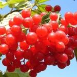 Полезные свойства, применение и противопоказания к употреблению красной калины