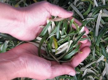 Применение облепиховых листьев с пользой для здоровья