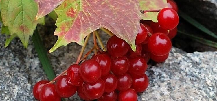 Вся правда о полезных свойствах красной калины и ее противопоказаниях