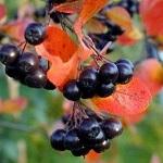 Черноплодная рябина - полезные свойства и противопоказания при некоторых болезнях