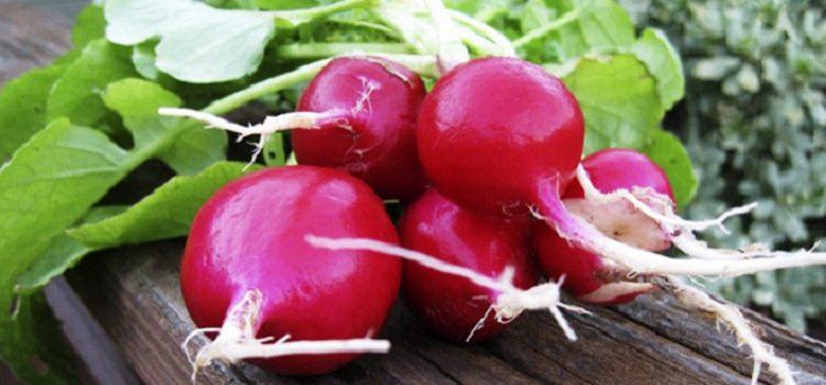 О пользе и вреде редиски - полезные свойства и противопоказания овоща
