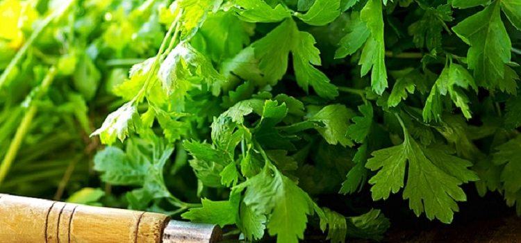 Полезная зелень петрушки - все о пользе и вреде для организма