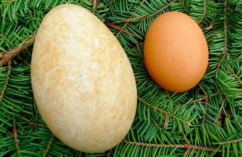 Утинные яйца и 5 главных отличий от куриных