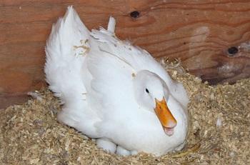 Утиные яйца - сроки хранения и меры предосторожности