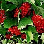 Лечебные свойства калины красной для здоровья человека