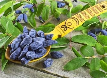 Как применяются ягоды жимолости в медицине и косметологии?