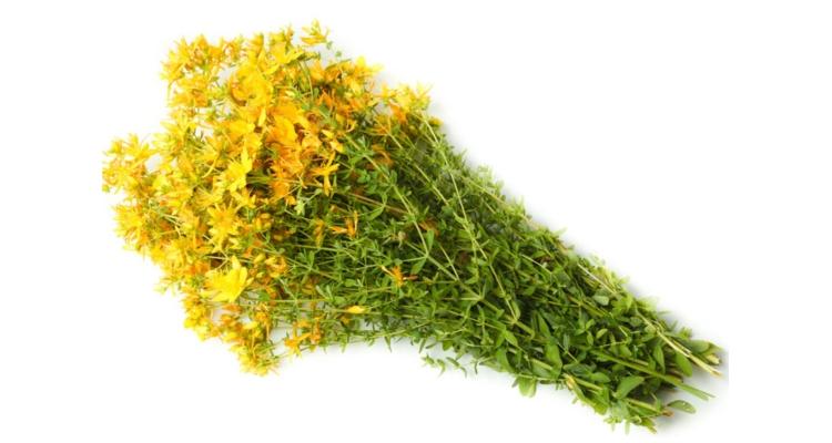 Фото лекарственной травы зверобой