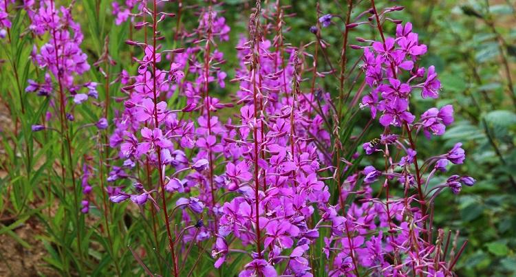 Чем полезна трава иван-чай и как она используется в народной медицине