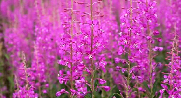 Где растет и как выглядит целебное растение иван-чай