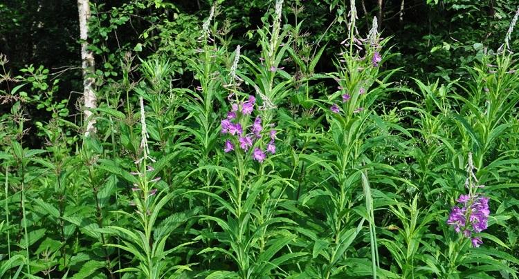 Иван-чай - где произрастает лекарственное растение