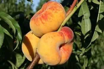 Какие существуют противопоказания к употреблению инжирного персика