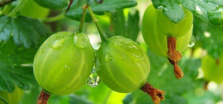 Полезные свойства ягод крыжовника и противопоказания к употреблению