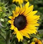 Полезные свойства семечек подсолнуха для мужчин и в чем его польза для организма