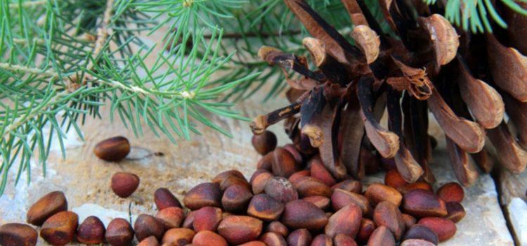 Уникальные кедровые орешки, польза для женщин