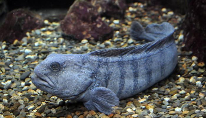 Рыба зубатка: польза и вред, фото, где водится и как выглядит