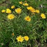 Лечебные свойства девясила и противопоказания к употреблению травы