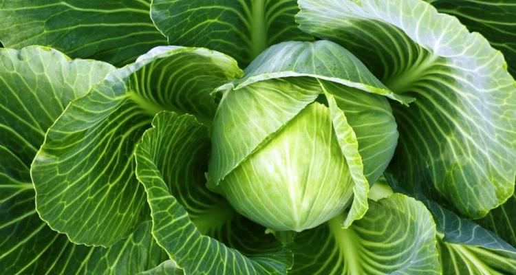 Белокочанная капуста польза и вред для организма лечебные свойства