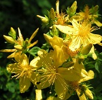 Зверобой - лечебные свойства и способы заготовки лекарственной травы