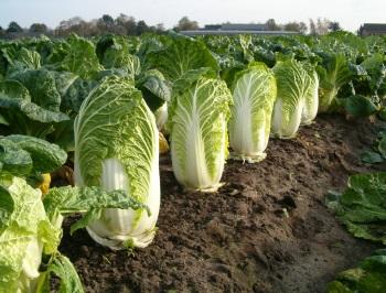 Польза пекинской капусты и вред для похудения