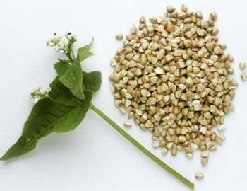 Зеленая гречка: ее польза и вред, способы применения в рецептах народной медицины