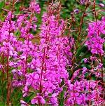 Польза и вред травы иван-чай для здоровья человека — основные моменты