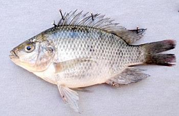 Все о пользе и вреде рыбы тилапии, а также где она водится