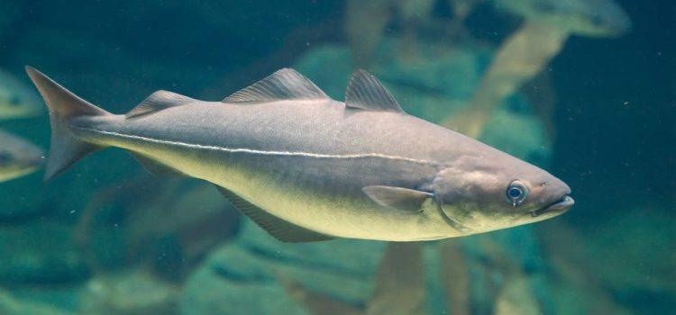 Польза и вред от употребления рыбы Пикша