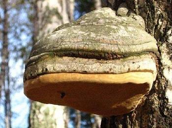 Употребление гриба чага в лечебных целях - полезные советы