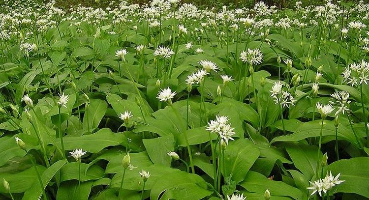 Как выглядит растение черемша и состав полезного растения