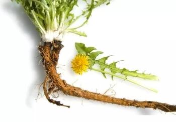 Состав корня одуванчика, калорийность