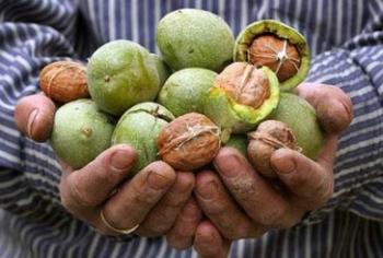 Грецкий орех: полезные свойства и противопоказания, польза для пожилых людей