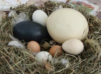 Гусиные яйца: польза и вред, сравнение полезности разных яиц