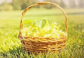 Чем полезен липовый цвет, полезные свойства растения для организма