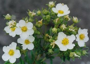 Чем полезно растение лапчатка белая, его полезные свойства для организма