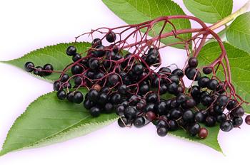 Какими лечебными свойствами обладает черная бузина для здоровья человека