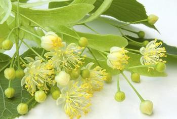 Липовый цвет - как правильно заготовить лекарственное растение