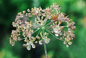 При каких заболеваниях врачи рекомендуют употреблять семена укропа