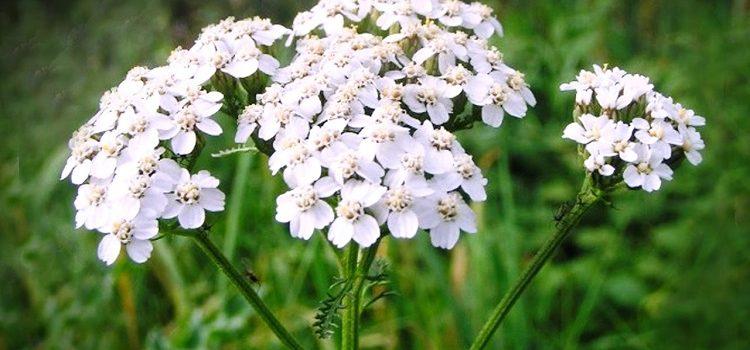 Растение лапчатка белая - фото, целебные свойства и противопоказания