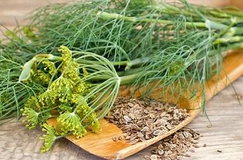 Состав и полезные свойства семян укропа - основные моменты