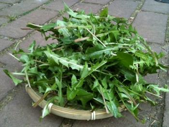 Советы по сбору листьев одуванчика: с
