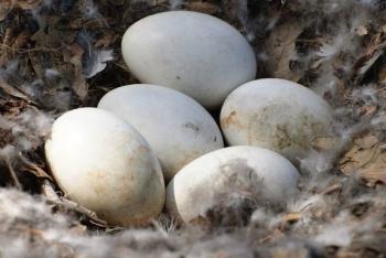 Польза и вред гусиных яиц, советы по выбору качественного продукта