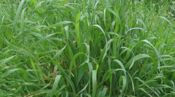 Лечебные свойства и противопоказания травы пырея ползучего