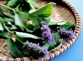 Лечебные свойства и противопоказания иссопа для здоровья человека