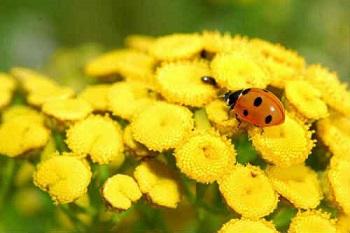 Полезные свойства пижмы и состав целебного растения