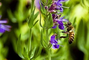 Польза и вред травы иссоп для здоровья человека - основные моменты