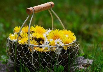Противопоказания к употреблению меда из одуванчиков и его действие на организм