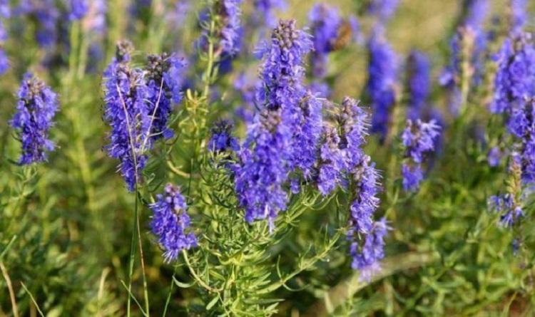 Состав и полезные свойства растения иссоп - основные моменты