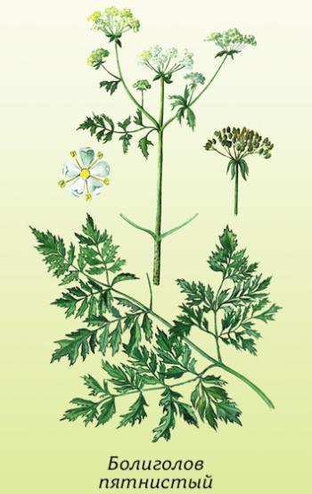 Болиголов: лечебные свойства и противопоказания, советы по заготовке и хранению травы