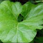 Ответ на вопрос, для чего полезен отвар листьев лопуха
